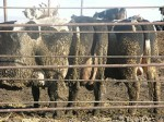 Feedlot cows caked with manure